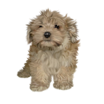 FREE Puppy png stock
