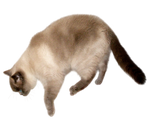 Colourpoint FREE png cat stock