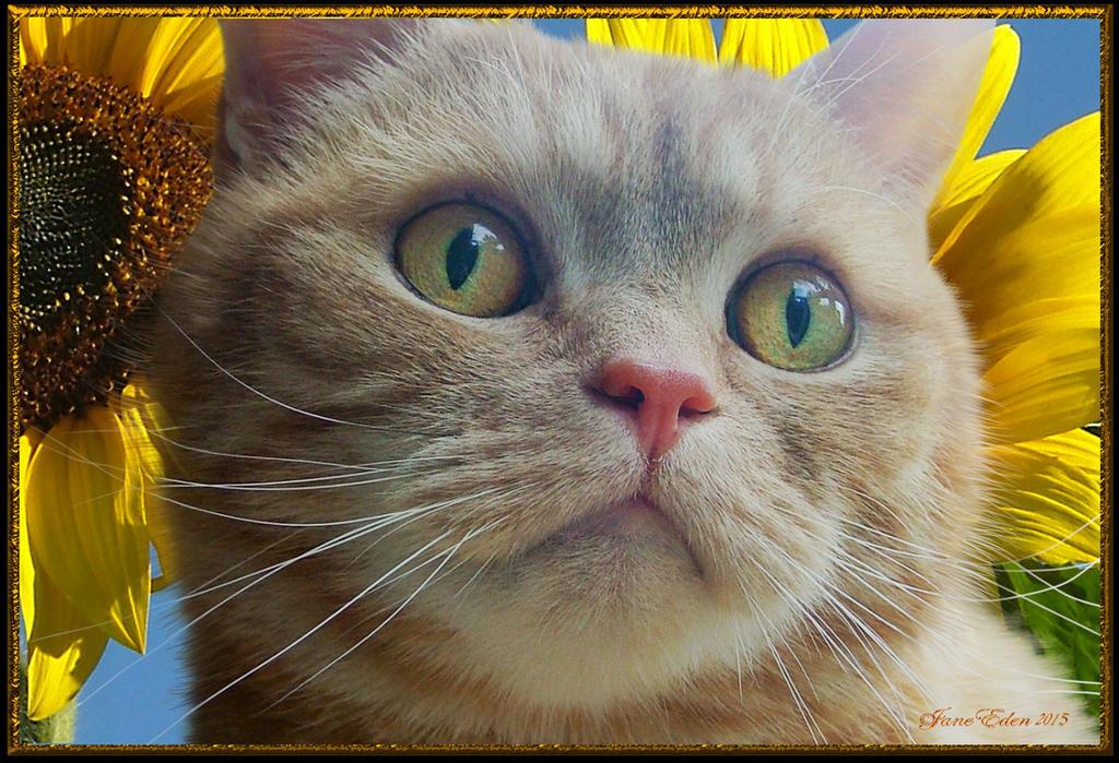 Freddie-amongst-the-sunflowers- by JaneEden