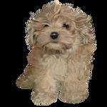 Havanese puppy free stock by JaneEden
