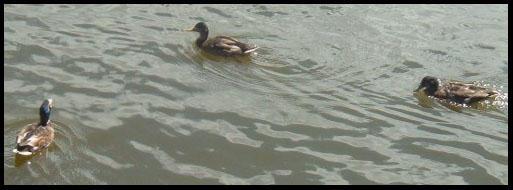 ducks take 2