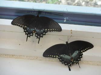 Vampire Butterflies by wondergirl100