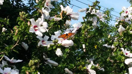 White Flowers With Monarch Butterfly by wondergirl100