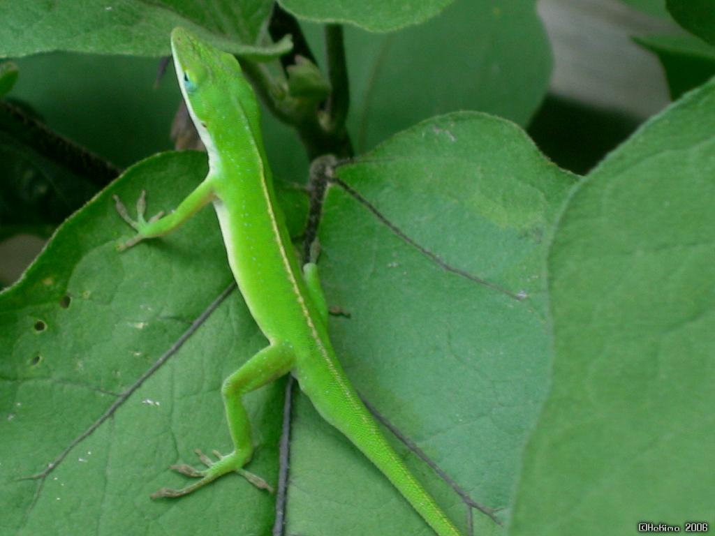 garden lizard wallpaper by hekima on deviantart - Garden Lizard