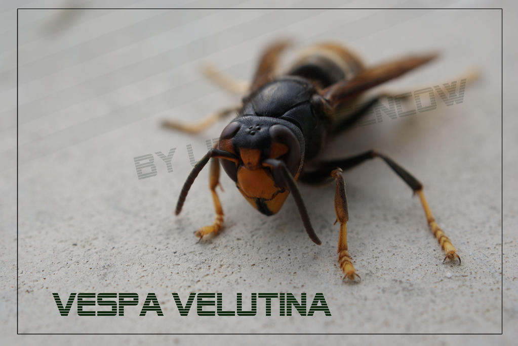 VESPA VELUTINA by littlegreencow