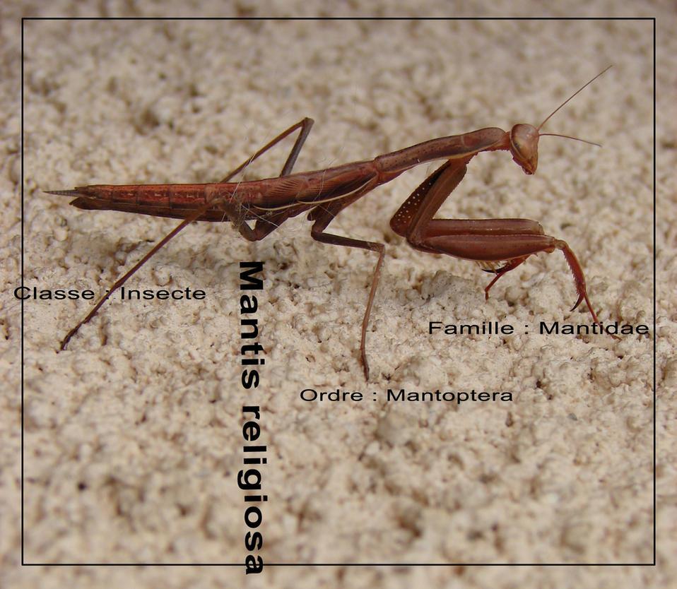 mantis religiosa by littlegreencow