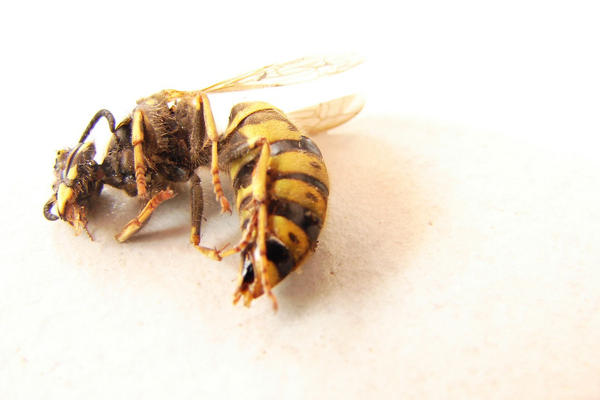 Bee by littlegreencow
