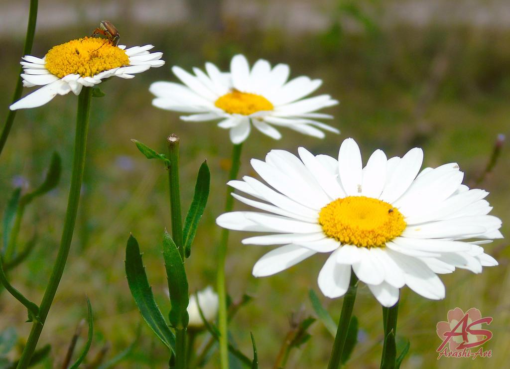 Flores de Nicaragua by Arashi-GEMARA