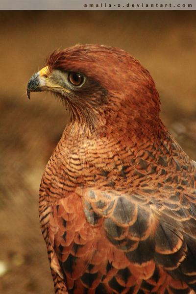Hawk Profile by amaliabastos