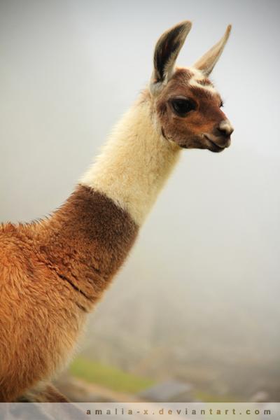 Baby Llama by amaliabastos