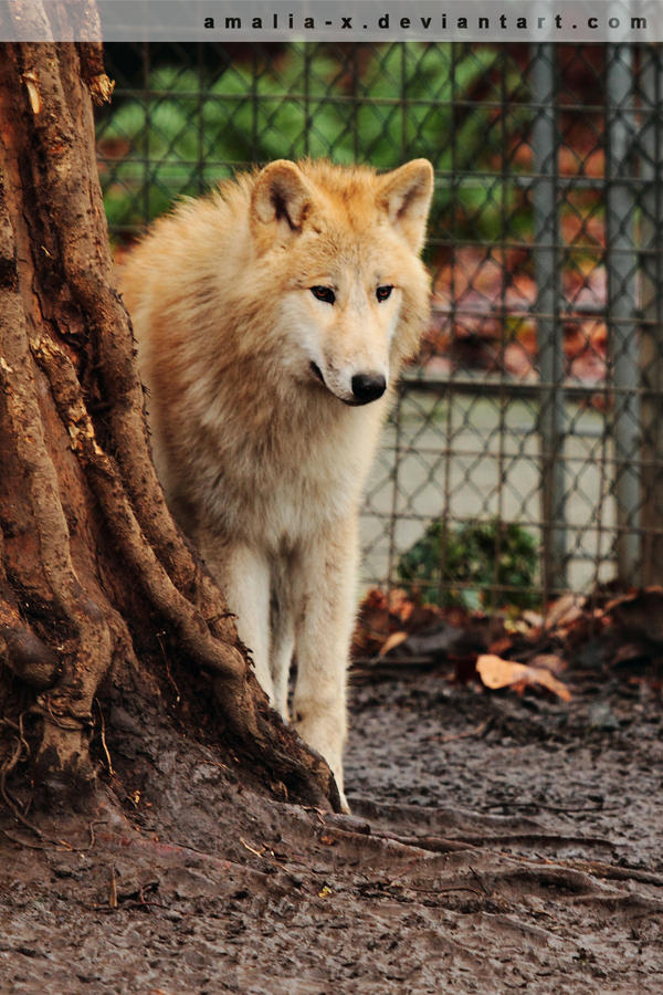 Timid Wolf by amaliabastos