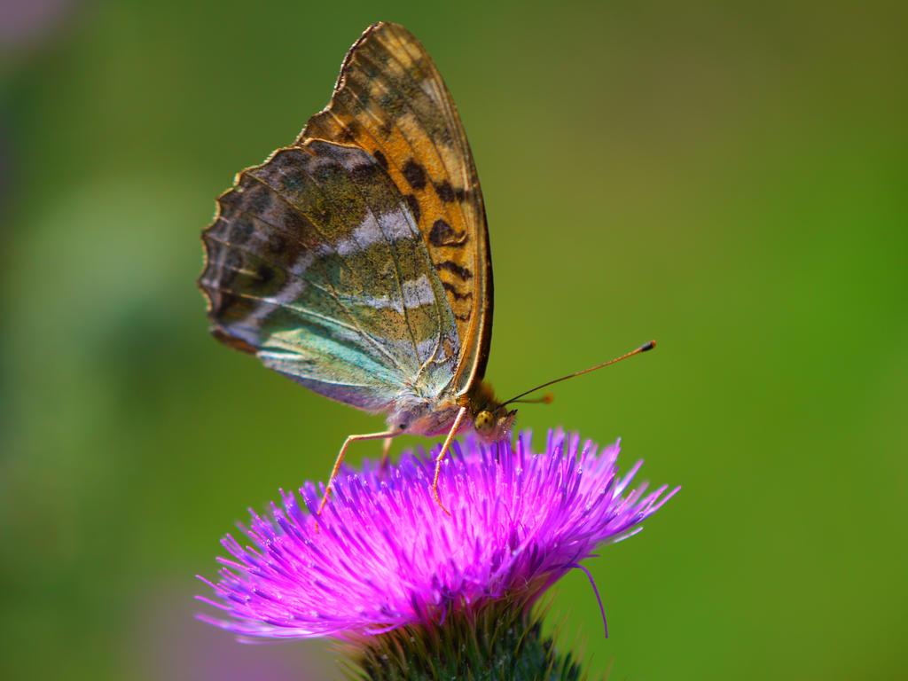 a butterfly by Nicky8