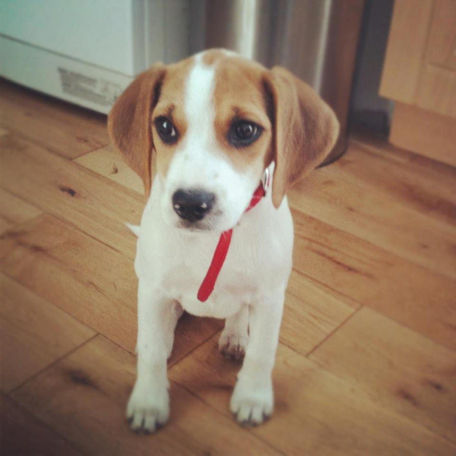 PIKA- Beagle puppy! by jools-cyrus