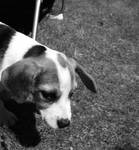 A Beagle Summer