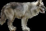 Grey Wolf Precut