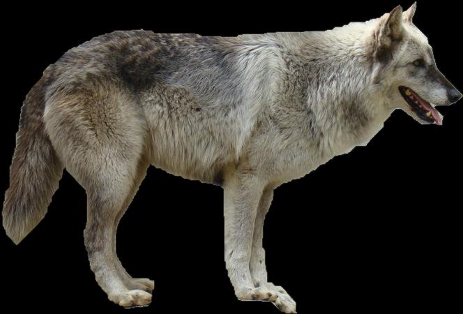 سكرابز طيور وحيوانات صور حيوانات للتصميم صور حيوانات مفرغة بدون grey_wolf_precut_by_wolflover10122-d5236lw.png