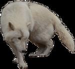 Arctic Wolf Precut
