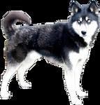 Husky Precut