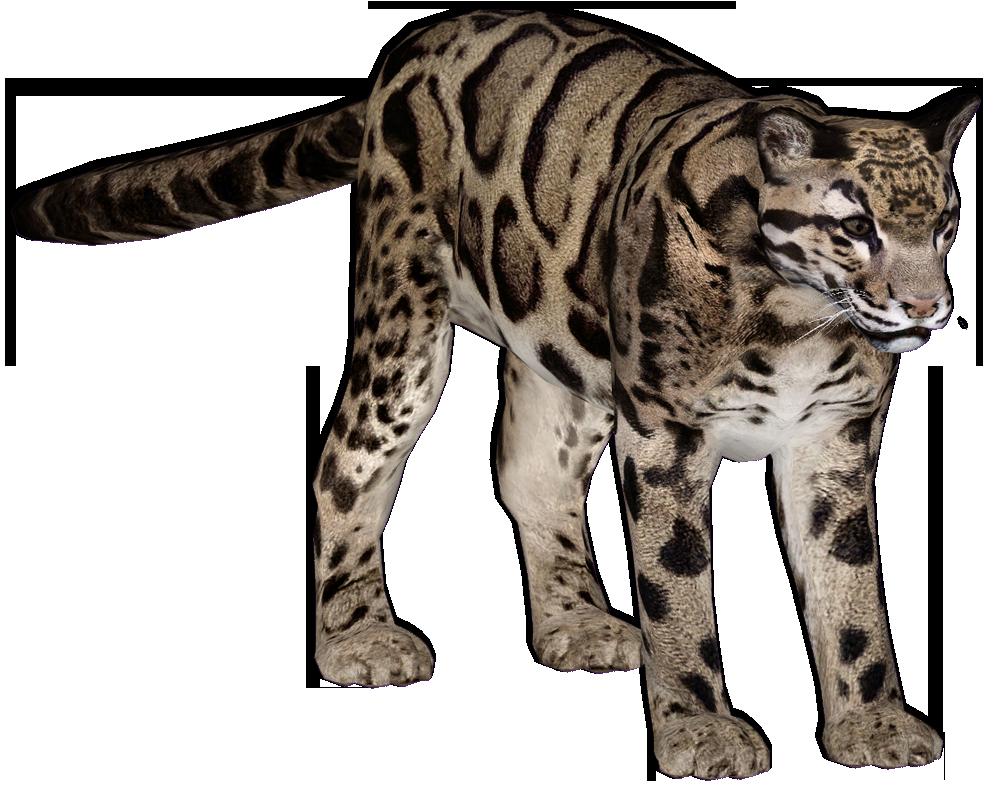 Clouded Leopard Update by GrandeChartreuse