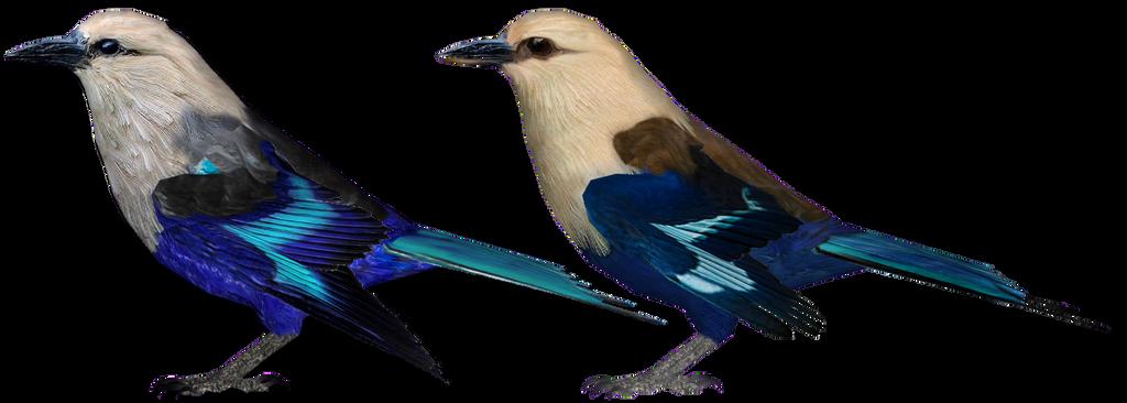 Blue-bellied Roller Comparison by GrandeChartreuse
