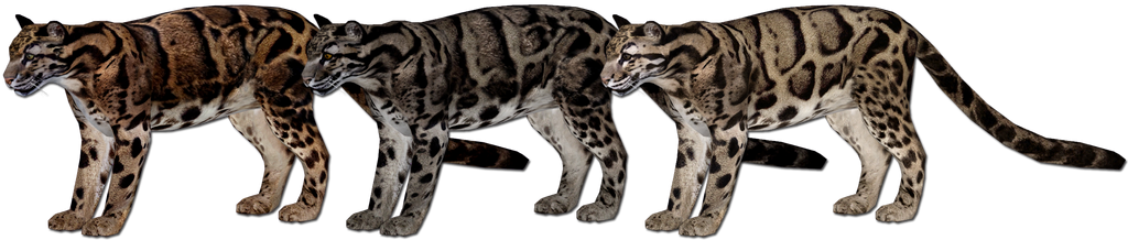 Topics tagged under feline on User - Made Creations Clouded_leopard_variant_updates_by_grandechartreuse-d85gihl