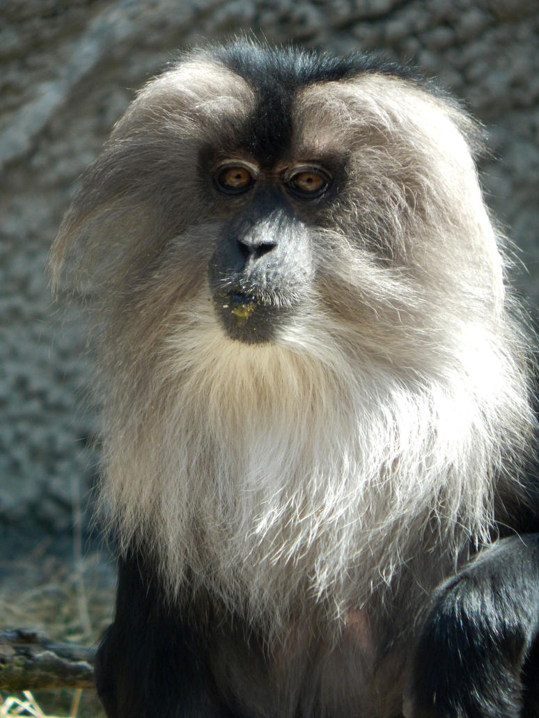 The Detroit Zoo - Lion-tailed Macaque by GrandeChartreuse