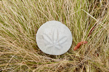 Sand Dollar in the High Desert