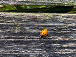 Ladybug on wood