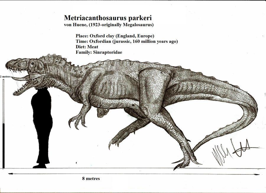Metriacanthosaurus Metriacanthosaurus parkeri by