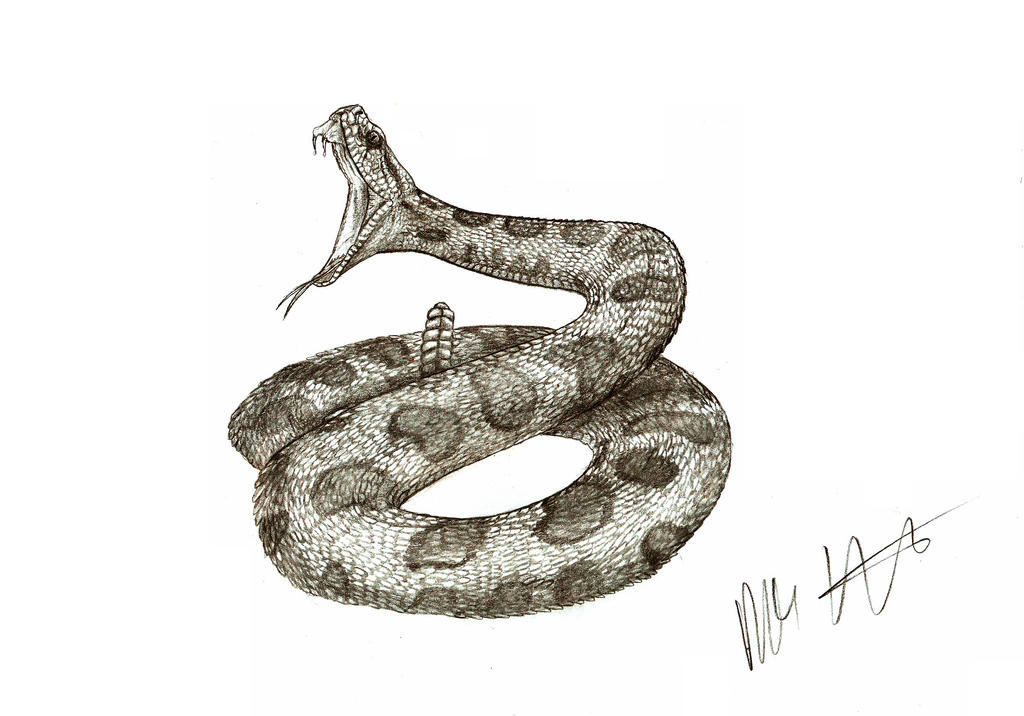Rattlesnake Strike Drawing | www.pixshark.com - Images ...