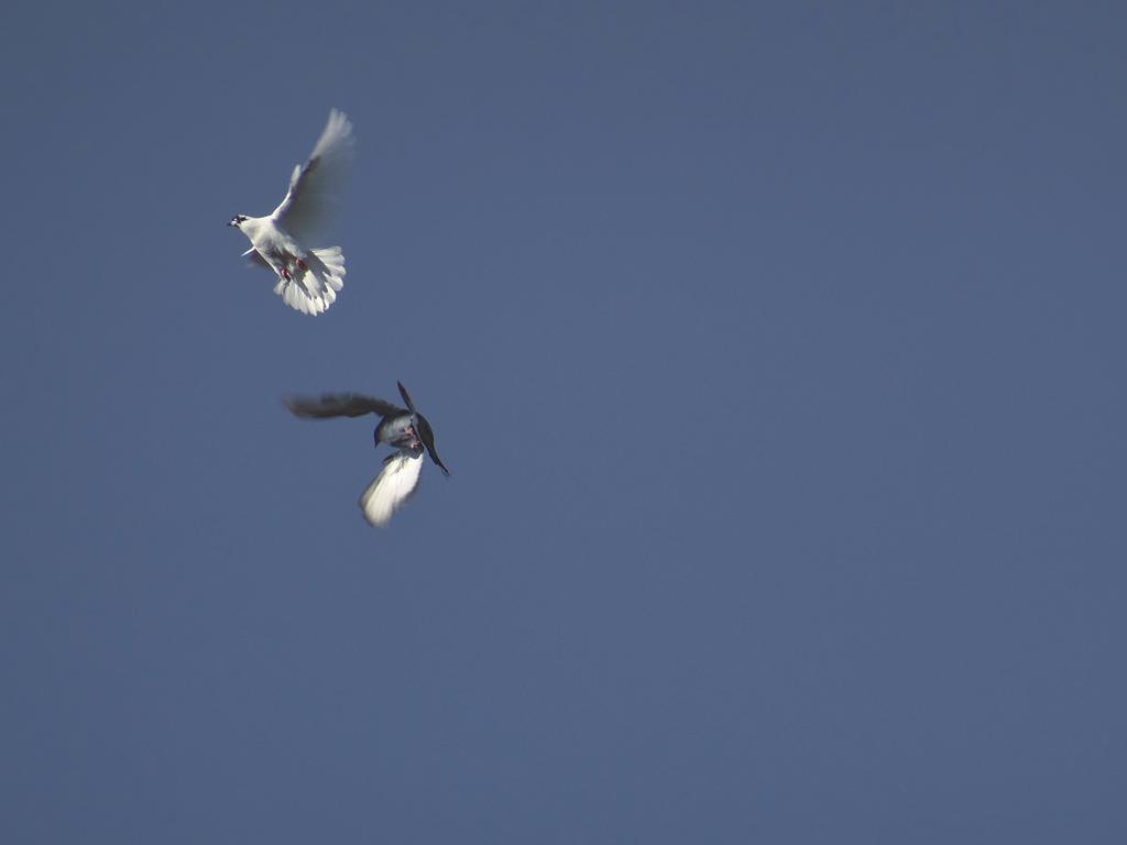 Pigeons dance by Ri-Misato