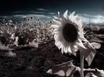Sunflowers Blah
