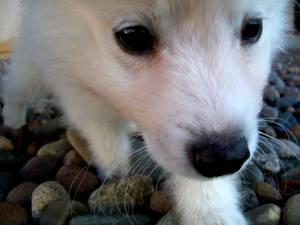 American Eskimo Puppy 1
