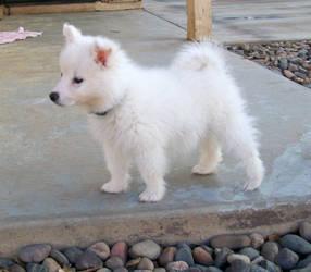 American Eskimo Puppy 4
