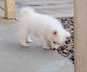 American Eskimo Puppy 5