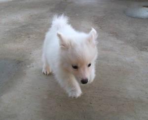 American Eskimo Puppy 6