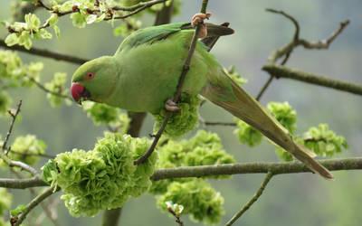 Female Rose-ringed Parakeet by rpfaas
