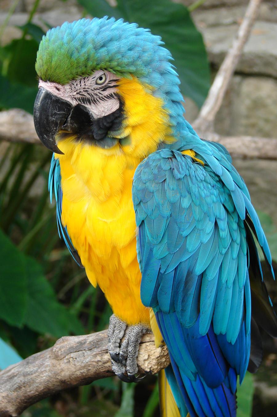 pin blue macaw bird - photo #20