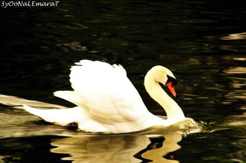 swan by 3yOoNaLEmaraT