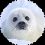 Baby Harp Seal 2 by Yamio