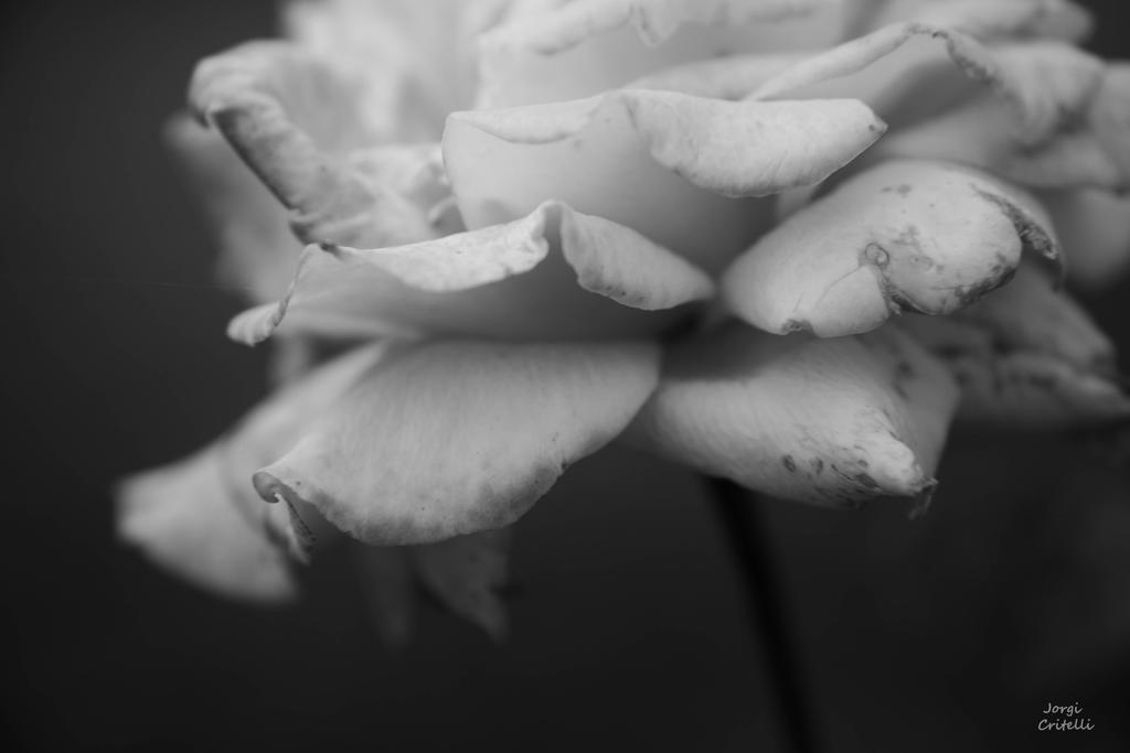 Monochrome Rose by Jorgipie
