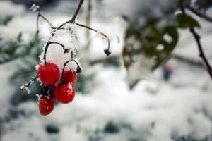 Winter Berries by Jorgipie