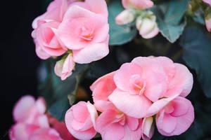 Pink Rose by Jorgipie
