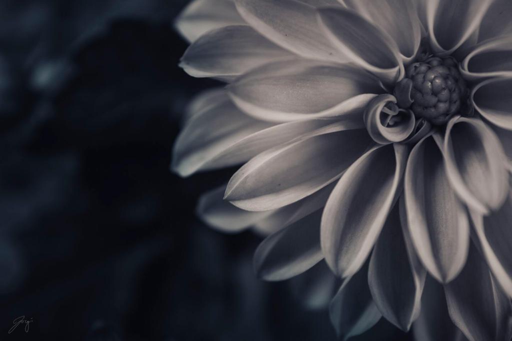 Moody Dahlia by Jorgipie