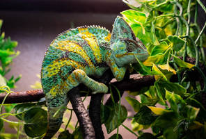 Veiled Chameleon by Jorgipie