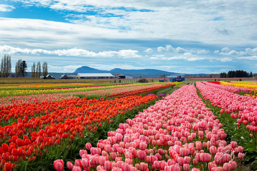 Sea Of Tulips by Jorgipie