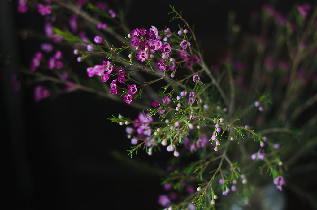 Waxflower by divinedecay