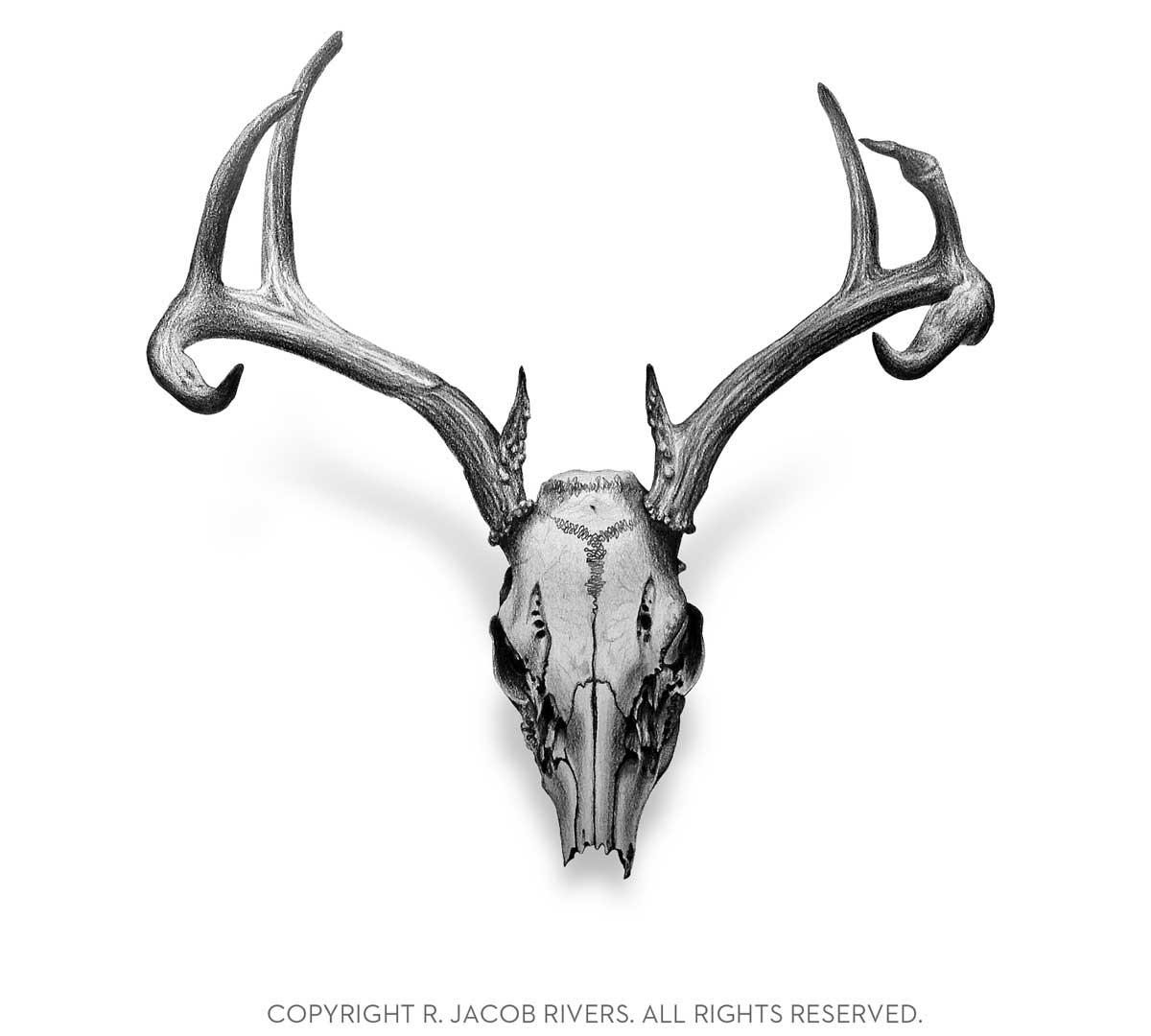 Elk skull drawing - photo#10