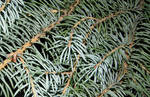 16 - pine
