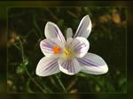 Crocus Butterfly
